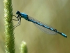 Damselfly