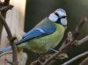 Bluetit