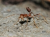 Thai Fighting Ant